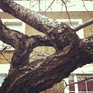 Cherry_Bloosom_East_Dulwich