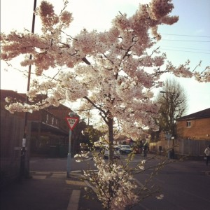 Small_Cherry_Blossom