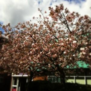 Colchester_Blossom