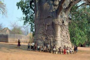 Baobab _Tree_Africa