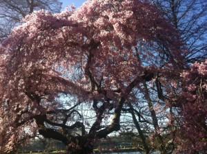 Cherry_Blossom_Kew
