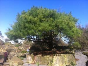 Dwarf_Pine