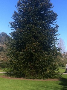 Monkey_Puzzle_In_Its_Glory