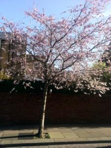 Cherry_Blossom _On_My_Travel