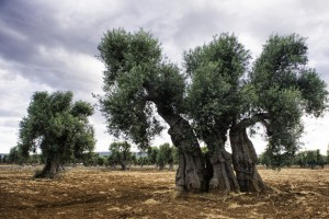 Robert-Bush_Ancient-Olive-Trees-5-1498x1000