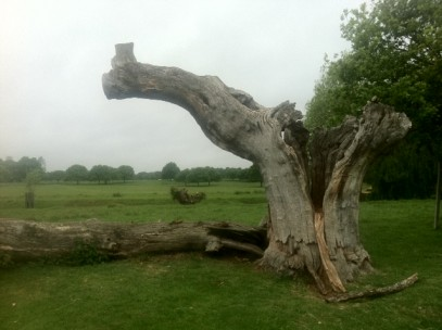 Hollow_Tree_Richmond_Park