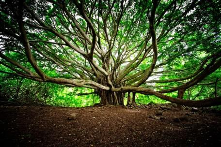 isac_goulart-banyan_tree-web