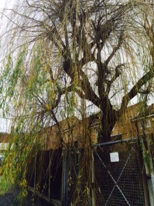 Winter Willow Tree